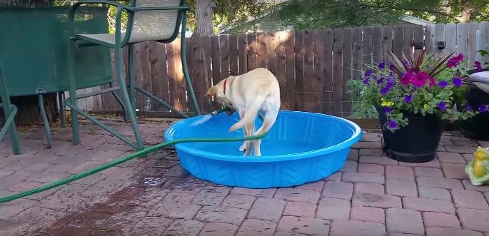 Собачка наполняет бассейн