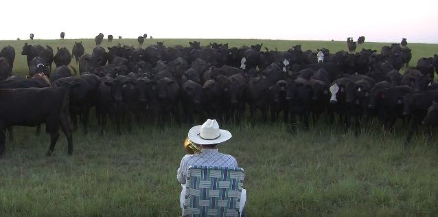 Коровы прибежали для прослушивания музыки