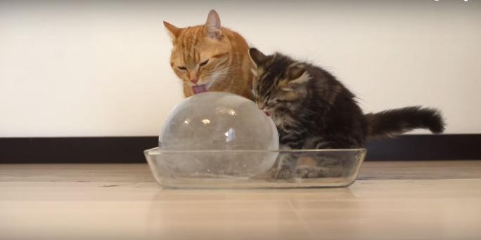 кот крутит шар языком