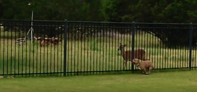 олень и собака играют