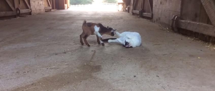 два козленка играют между собой а кот наблюдает