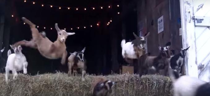 стадо козлят прыгают через сено