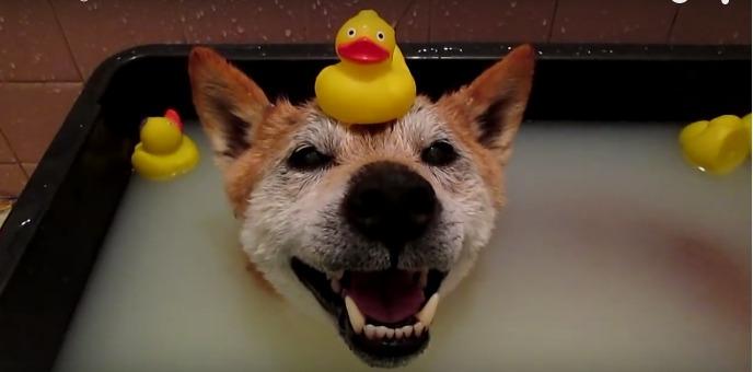 смешная собачонка любит ванную