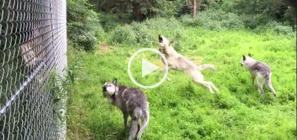 Как играют волки